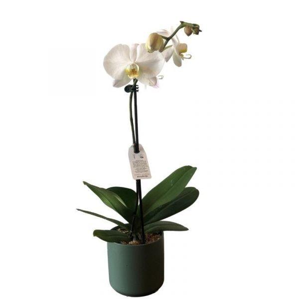 Philaenopsis Orchid pot
